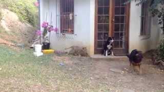 ライオンにビビる犬.