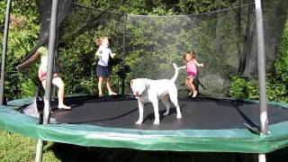 American Bulldog On Trampoline