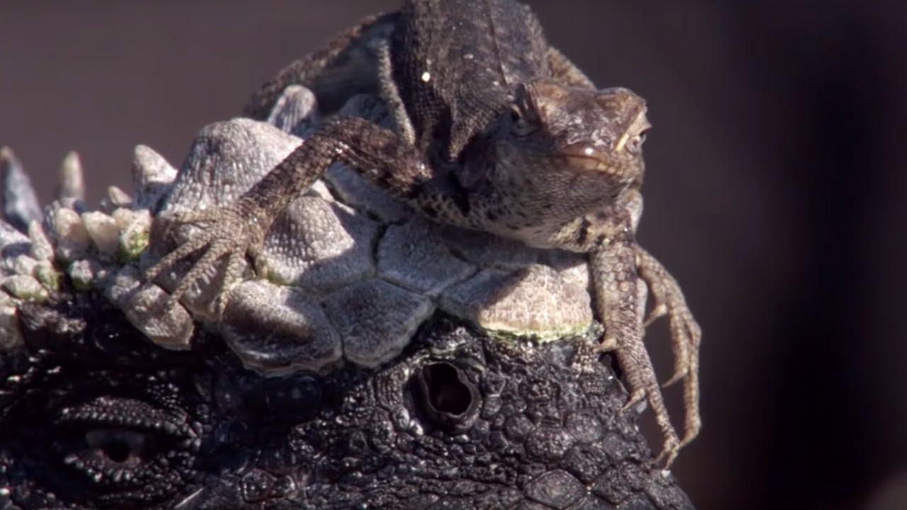 Weirdest Animal Relationships   Top 5   BBC Earth