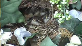 Mother feeding baby birds in the nest and cleaning the nest