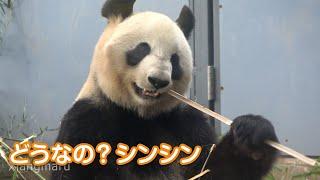 2020/2/22 (4) シャンシャンはウロウロ。ところでシンシンはどうなの? Giant Panda Xiang Xiang ,Shin Shin & Ri Ri