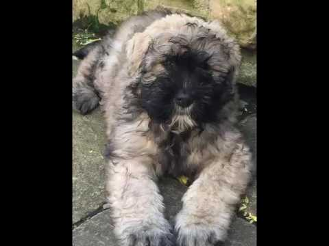 Dennis 10 week old Bouvier, the story continues