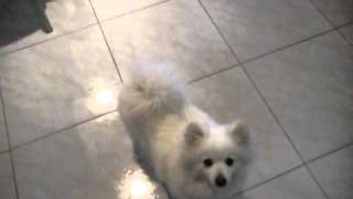 Japanese Spitz X Pomeranian Dog Tricks (particularly The Pirouette)