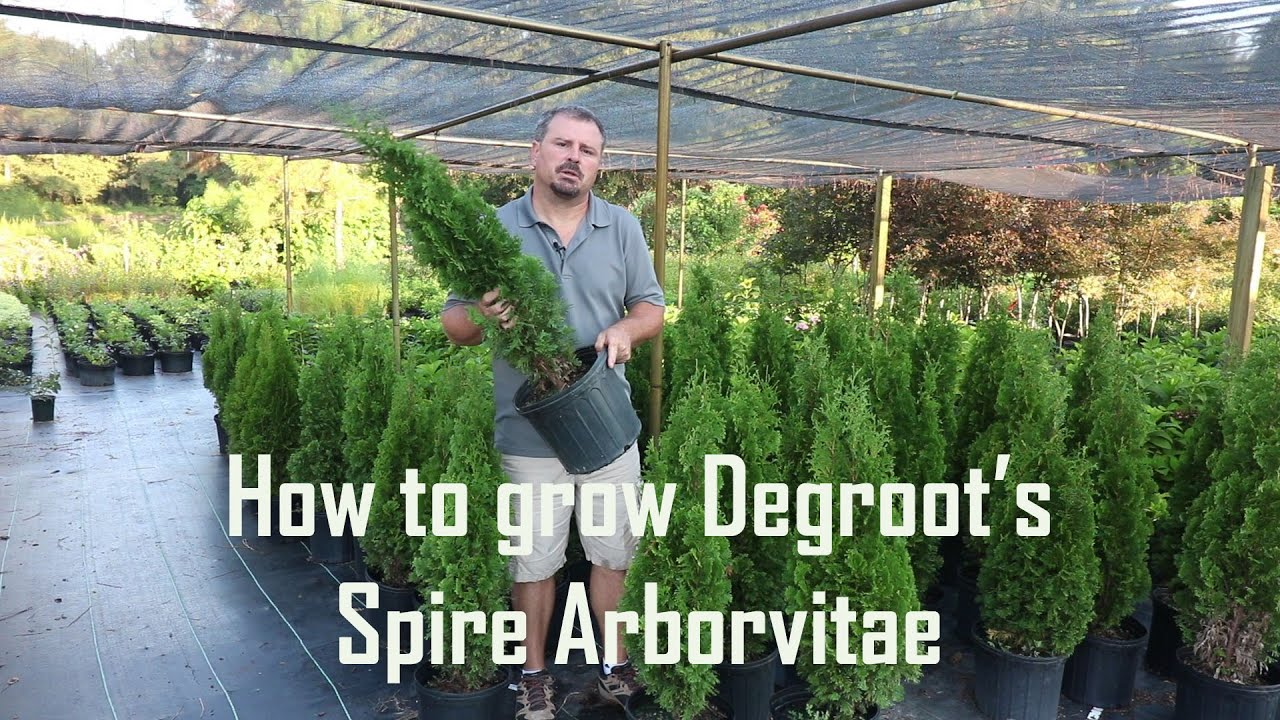 how to grow arborvitae from cuttings