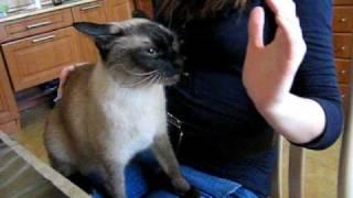 сиамский кот злой как собака