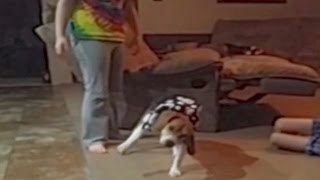 Beagle Wearing A Dress Falls Over