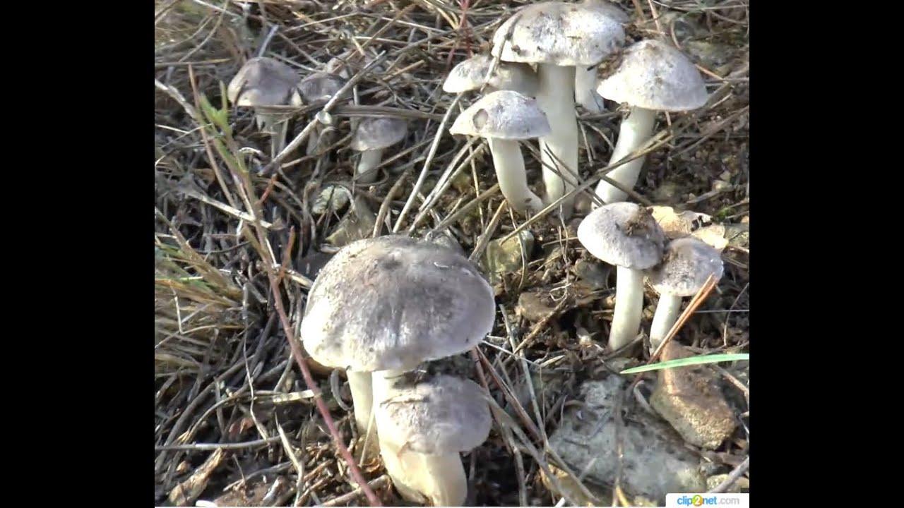 грибы серые мышата