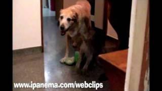 Weimaraner Ziggy & Labrador Lulu In Snake Attack!!!