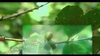Fitosanidad en cultivos de café y durazno - TvAgro por Juan Gonzalo Angel