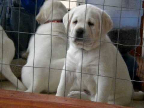 Lab Puppies For Sale Youtube