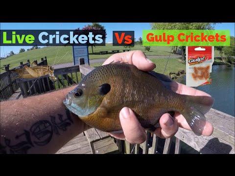 Gulp Crickets Vs Live Crickets   Bait Testing #2