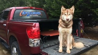 2 Year Old Husky Off Leash Trained Before/after Video   Pittsburgh Dog Trainers