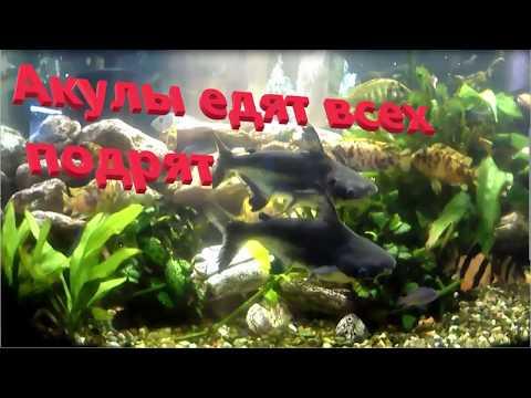 Акулий сом. Пангасиус в аквариуме.
