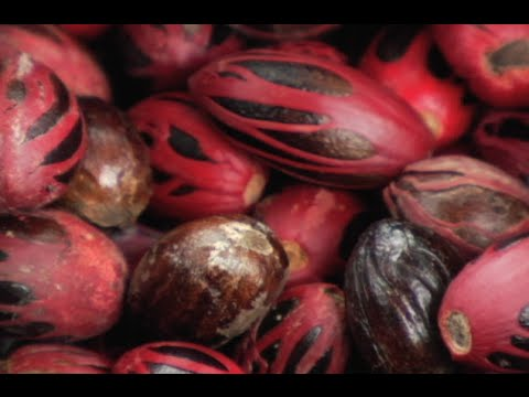 The Grenada Nutmeg Industry