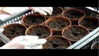 Jak i kiedy siać pomidory - [how and when sow the tomatos seeds]