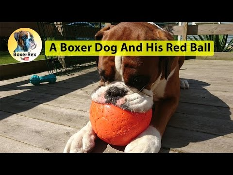 A Boxer Dog And His Red Ball - True Story! 😁