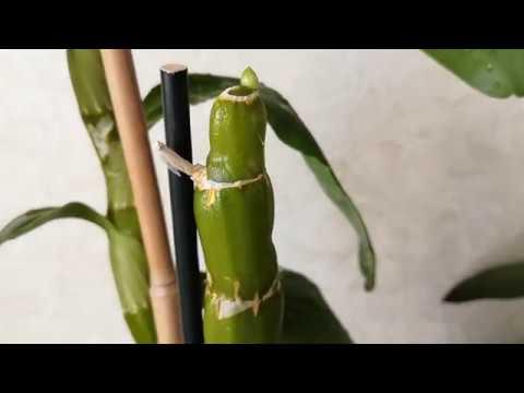 Как заставить цвести 🌸#дендробиум#Нобеле🌸 Простые советы по уходу.