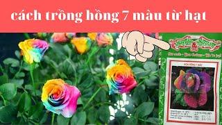 cách ươm hạt hoa hồng 7 màu - cách trồng hoa hồng 7 màu từ hạt giống- hoa hồng ngũ sắc