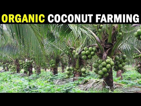 Organic Coconut Farming - CPCRI Kasragode, Kerala | Organic Coconut Cultivation