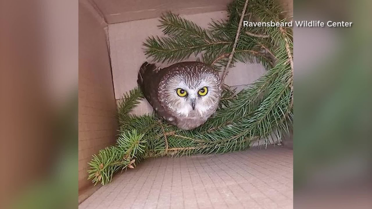 Rockefeller Center Christmas tree owl could take flight soon