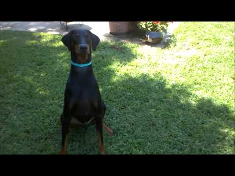 Dexter The Doberman Puppy Backyard Crazy Time.