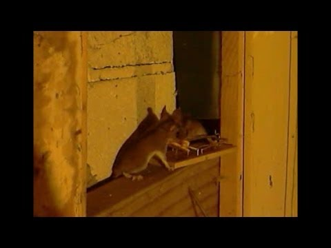 1 Mouse trap kills 2 mice at the same time