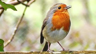 Robin Birds Chirping and Singing - Beautiful Video, Bird Song and Nature Sounds in HD