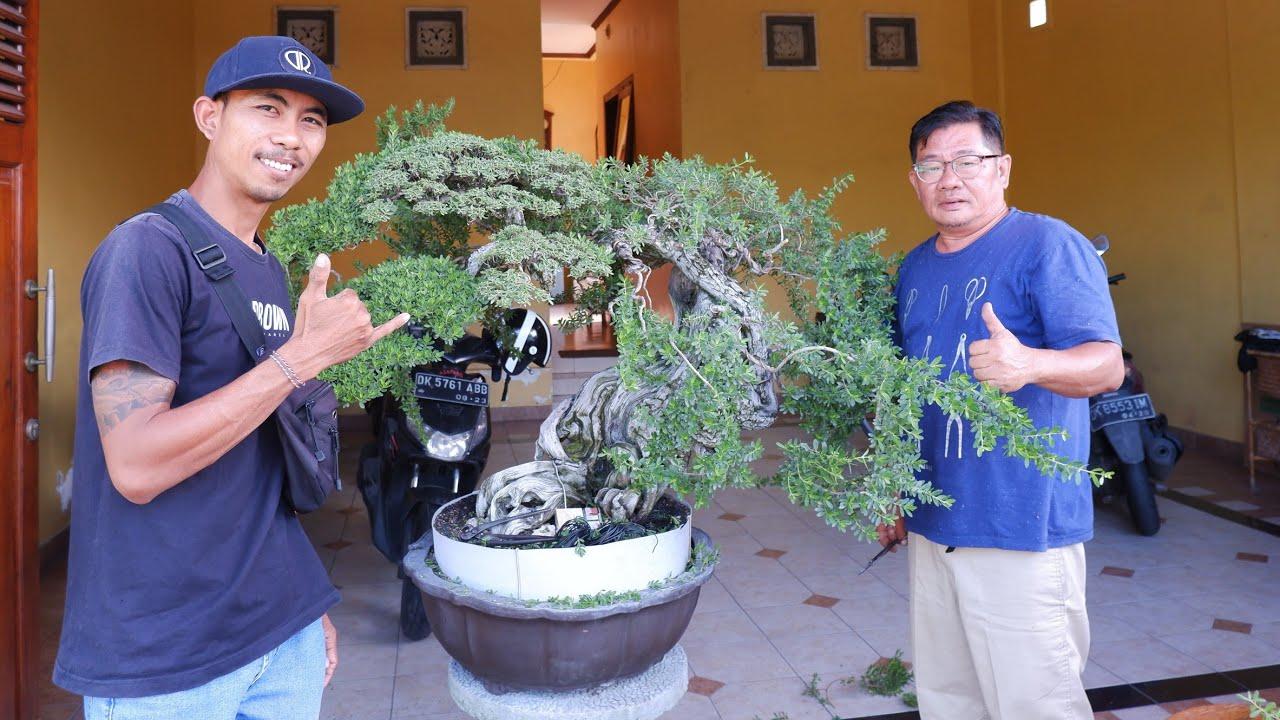 Proses Pruning Bonsai Santigi  Rudi Julianto