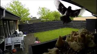 Gopro Big Bird On Bird Table