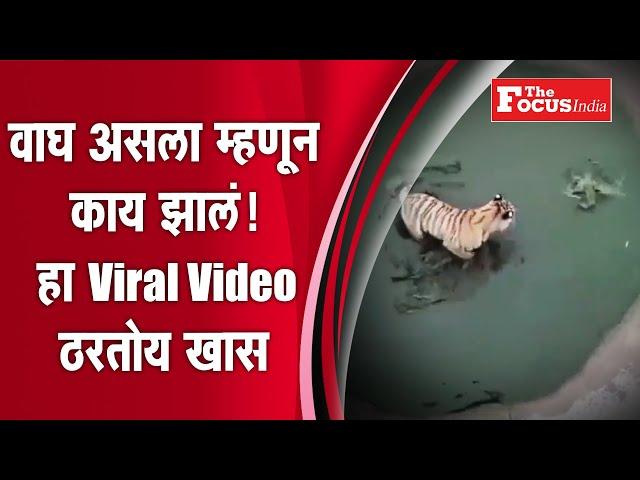 वाघ असला म्हणून काय झालं! हा Viral Video ठरतोय खास l Thefocus india
