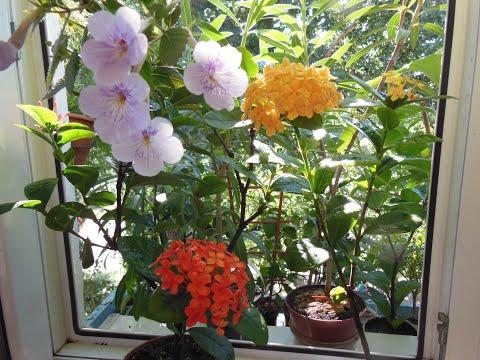 Иксора уход, содержание в комнатных условиях. Неугомонная цветунья Иксора.