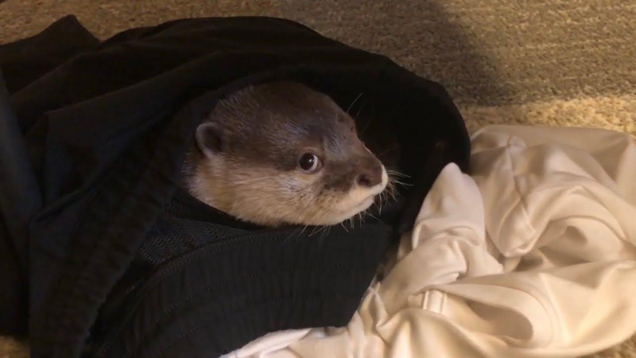 カワウソさくら 飼い主パジャマの中で生活を始めたカワウソ Otter in their owner's pajamas