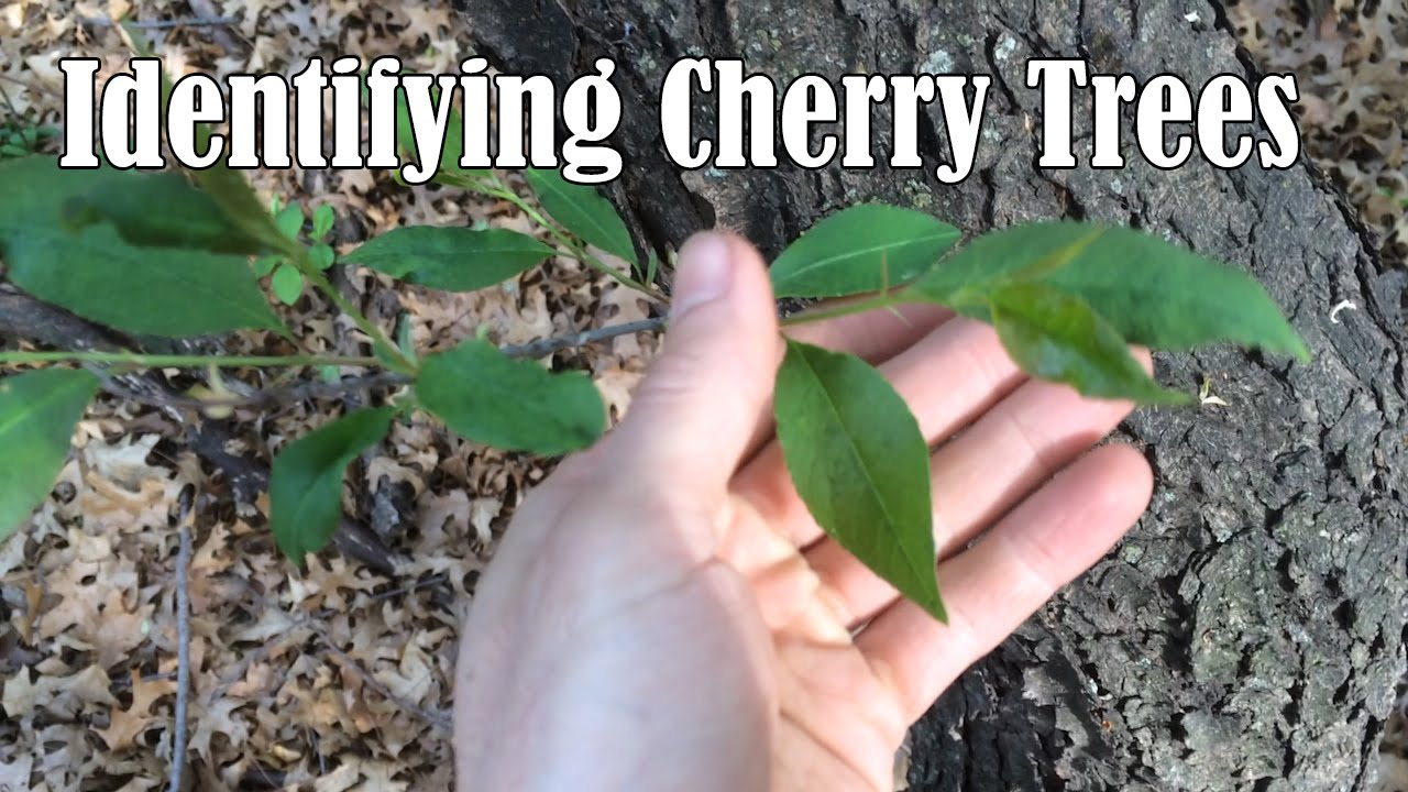 Identifying Wild Black Cherry Trees Youtube