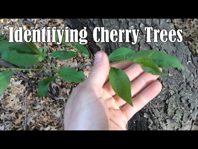 3 ways to identify cherry trees wikihow publicscrutiny Gallery