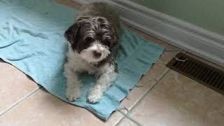 Havanese dog Coco meal time routine