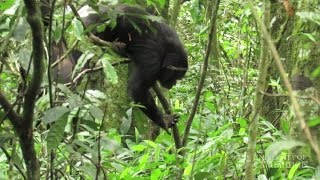 Chimpanzees have favourite 'tool set' for hunting staple food of army ants