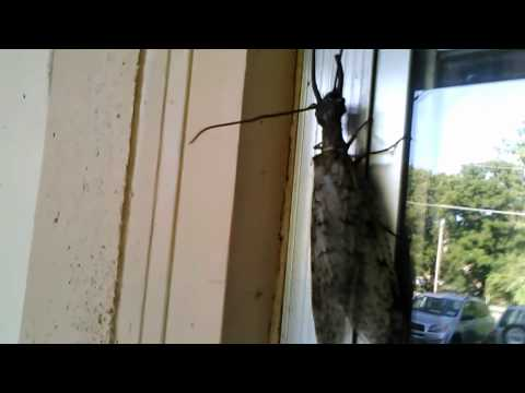 Big Ugly Bug: Male Dobsonfly