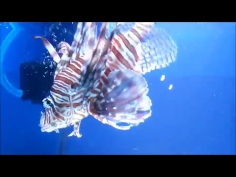 Amazing!! Lion Fish in Aquarium Exhibition at Thane Art Festival 2017