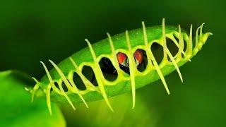 10 САМЫХ ПОРАЗИТЕЛЬНЫХ РАСТЕНИЙ В МИРЕ(Самые удивительные и невероятные растения в мире! Многие из них повергают в шок. ПОДПИШИСЬ НА НОВЫЕ ТОПЫ:..., 2015-09-20T14:20:22.000Z)