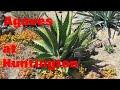 AGAVE GALLERY:  Agaves at Huntington Desert Garden
