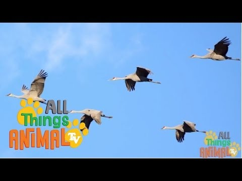 * CRANE BIRD * | Animals For Kids | All Things Animal TV