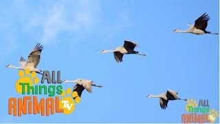 Animal Facts - Lesson 08 - Crane Birds