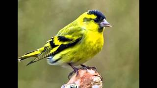 Развивающее видео для детей  Голоса птиц  ЧИЖ