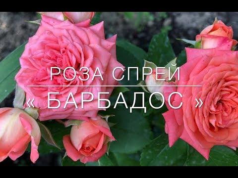 Бордюрная Роза Спрей                            « Барбадос »