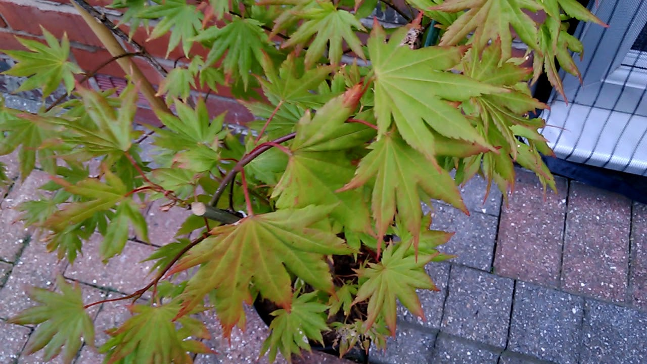 Acer Shirasawanum Autumn Moon Japanese Maple 30th August 2017