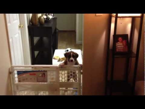Boxer Puppy Escapes Kitchen