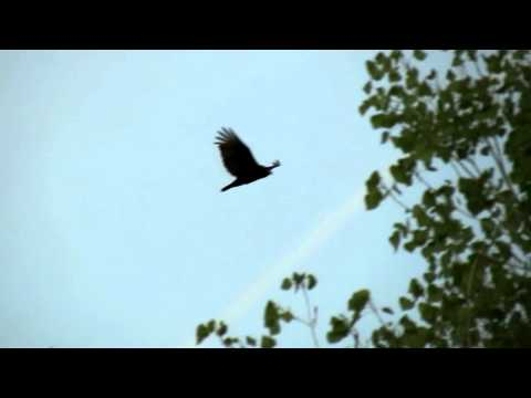 Sky filled with Turkey Vultures ~ Bird of Death