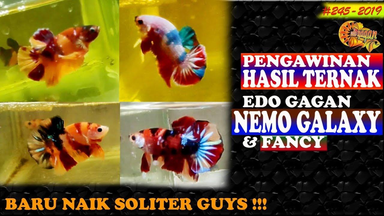SPESIAL ilmu budidaya ikan cupang PK NEMO GALAXY ...