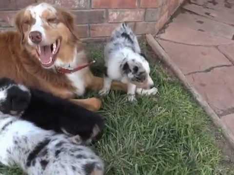 #1 female Texas Heeler puppy ALT Texas Heelers 91512 - YouTube