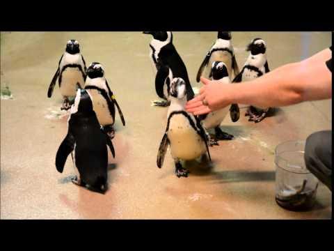 African Penguins Eating Fish At Newport Aquarium